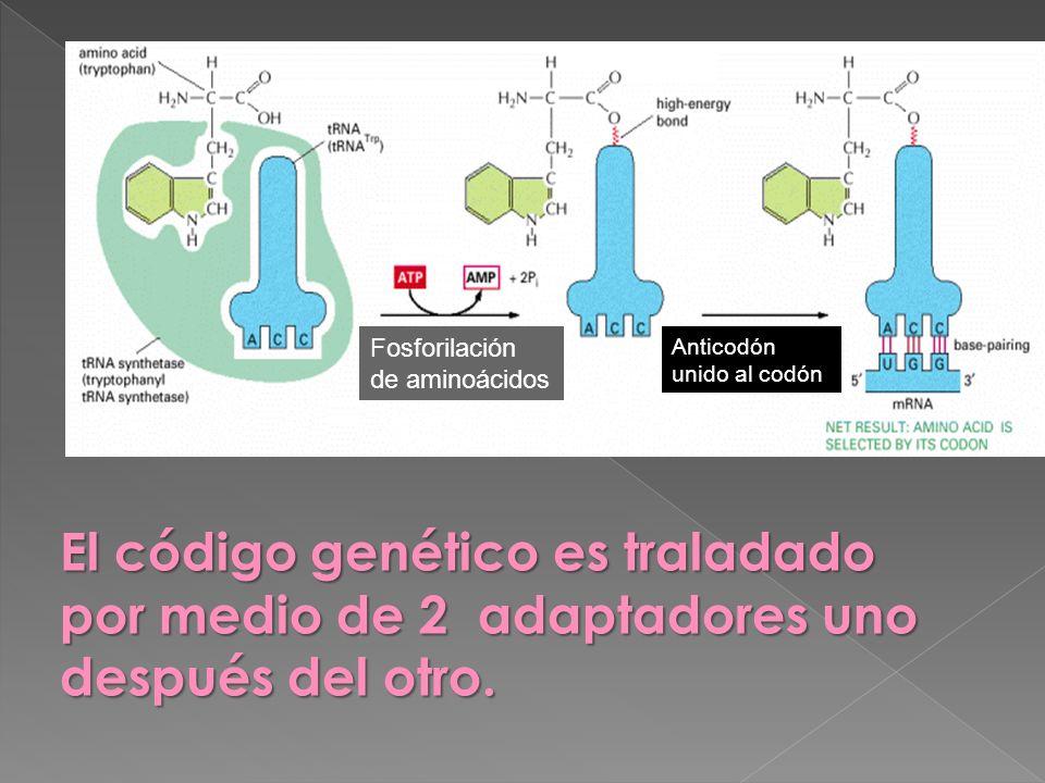 El código genético es traladado por medio de 2 adaptadores uno después del otro. Fosforilación de aminoácidos Anticodón unido al codón