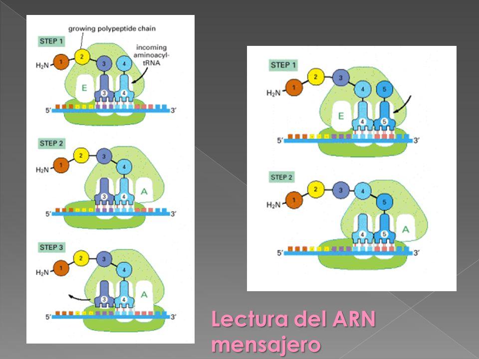 Lectura del ARN mensajero
