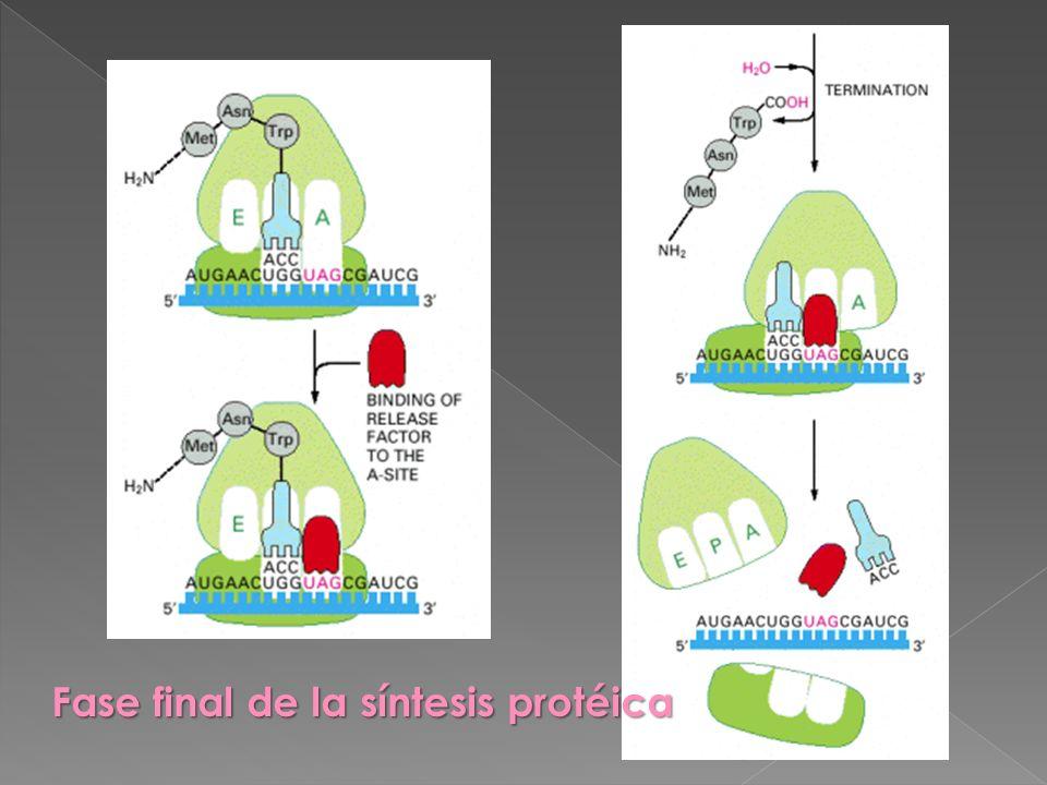 Fase final de la síntesis protéica