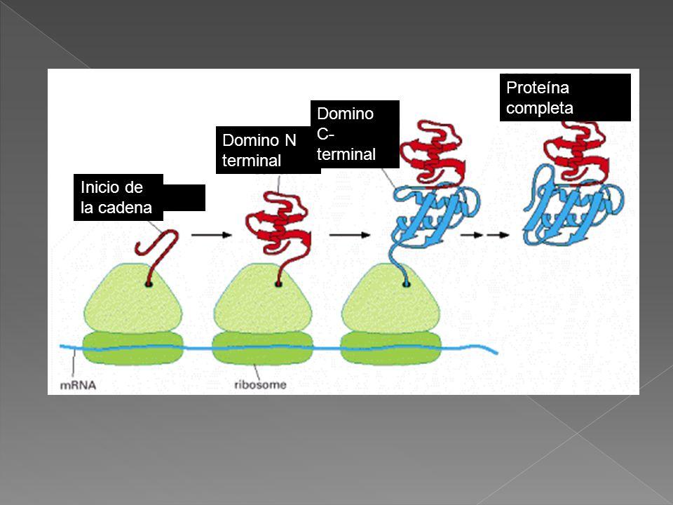 Inicio de la cadena Domino N terminal Domino C- terminal Proteína completa