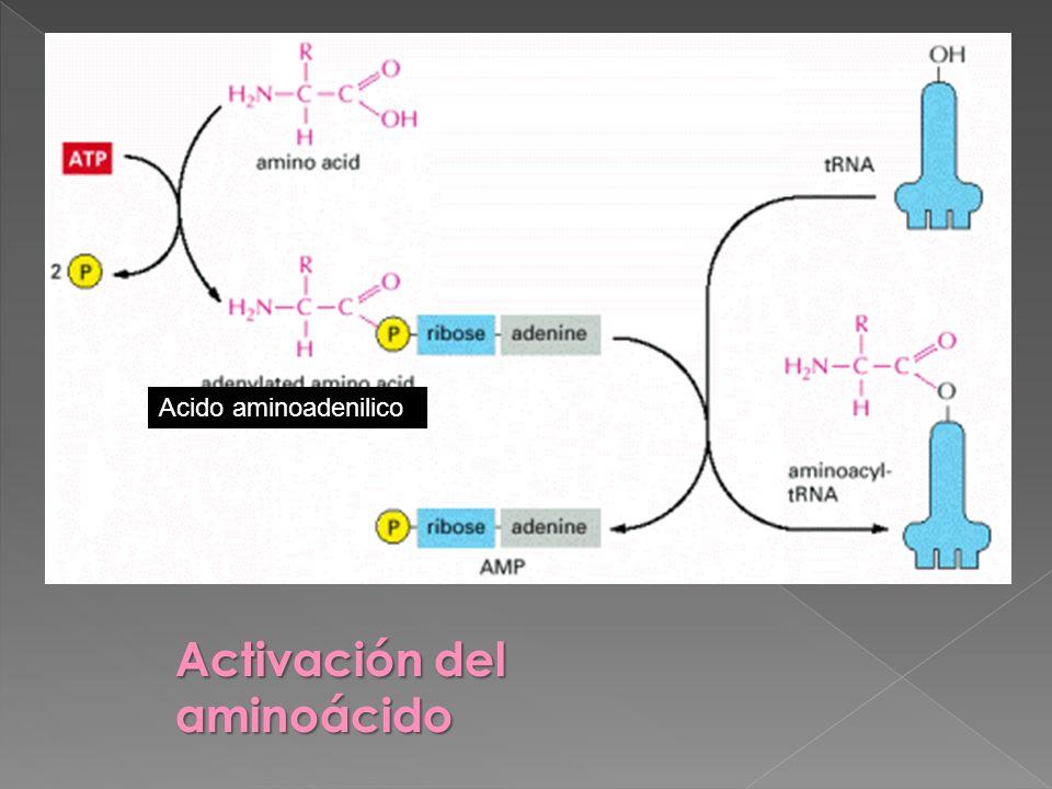 Activación del aminoácido Acido aminoadenilico Extremo anterior Extremo 3 hidroxilo