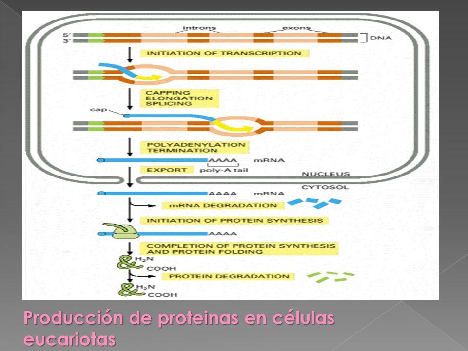 Producción de proteinas en células eucariotas