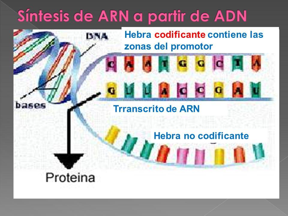 Trranscrito de ARN Hebra no codificante Hebra codificante Hebra codificante contiene las zonas del promotor