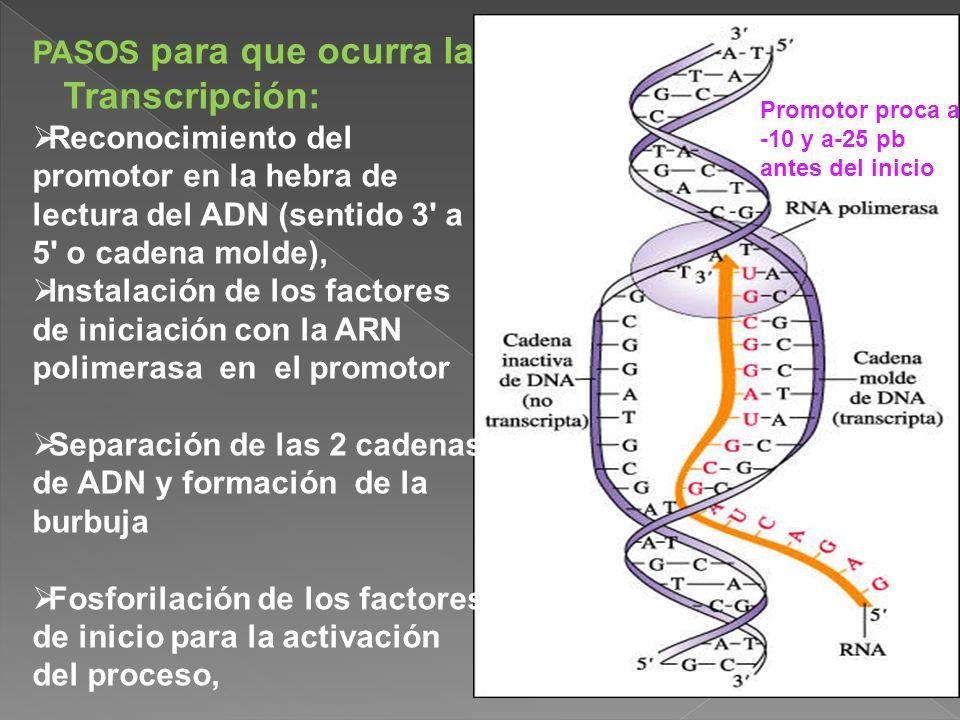 PASOS para que ocurra la Transcripción: Reconocimiento del promotor en la hebra de lectura del ADN (sentido 3' a 5' o cadena molde), Instalación de lo
