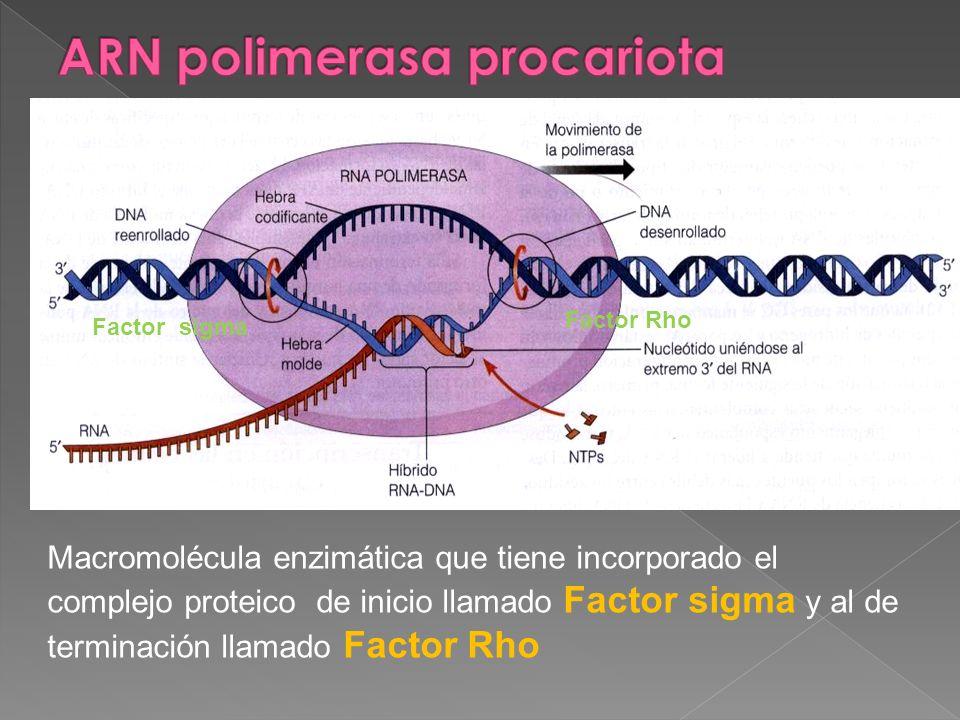 Macromolécula enzimática que tiene incorporado el complejo proteico de inicio llamado Factor sigma y al de terminación llamado Factor Rho Factor sigma