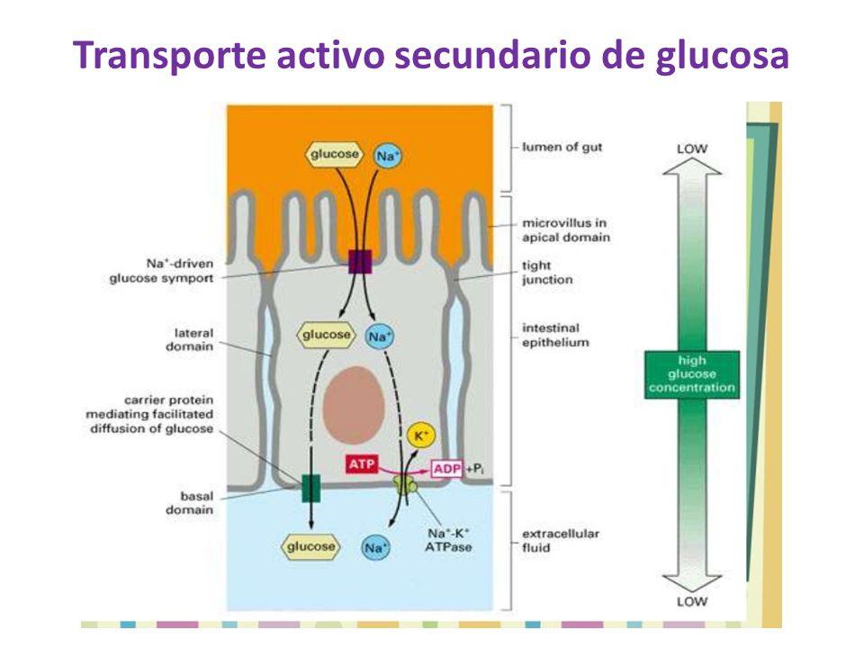 Transporte activo secundario de glucosa