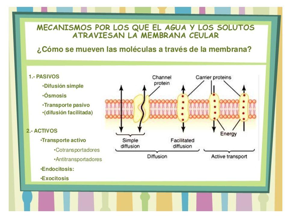 Un ligando se une a una proteína receptora de membrana Las vesículas se mueven del exterior al interior (colesterol, hierro etc.), unidos al ligando extracelular.