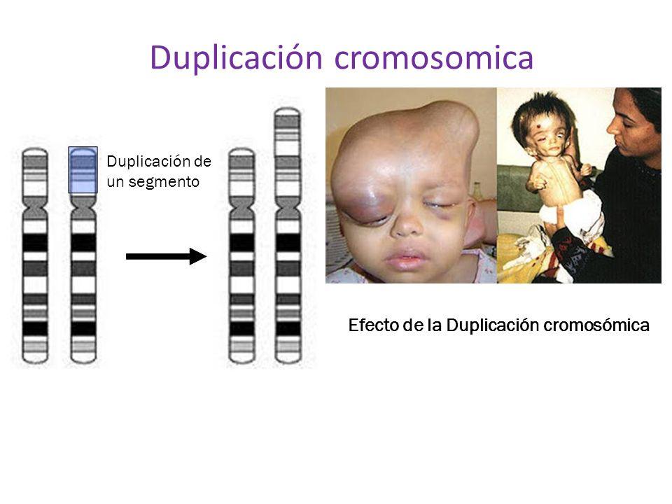 Duplicación cromosomica Duplicación de un segmento Efecto de la Duplicación cromosómica