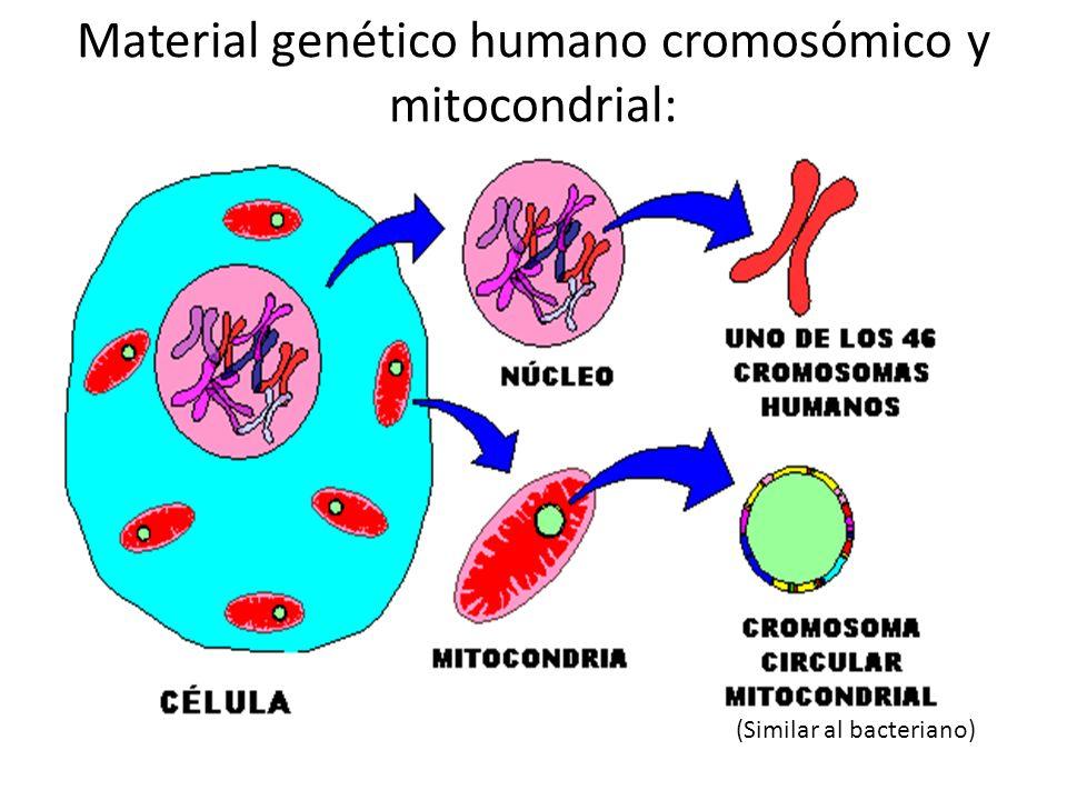 Material genético humano cromosómico y mitocondrial: (Similar al bacteriano)
