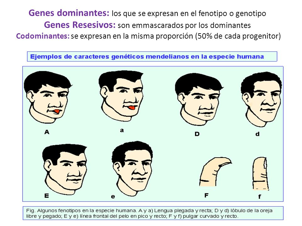 Genes dominantes: los que se expresan en el fenotipo o genotipo Genes Resesivos: son emmascarados por los dominantes Codominantes: se expresan en la m