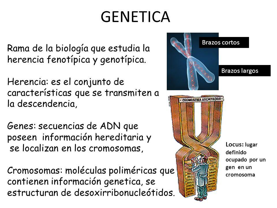 GENETICA Rama de la biología que estudia la herencia fenotípica y genotípica. Herencia: es el conjunto de características que se transmiten a la desce