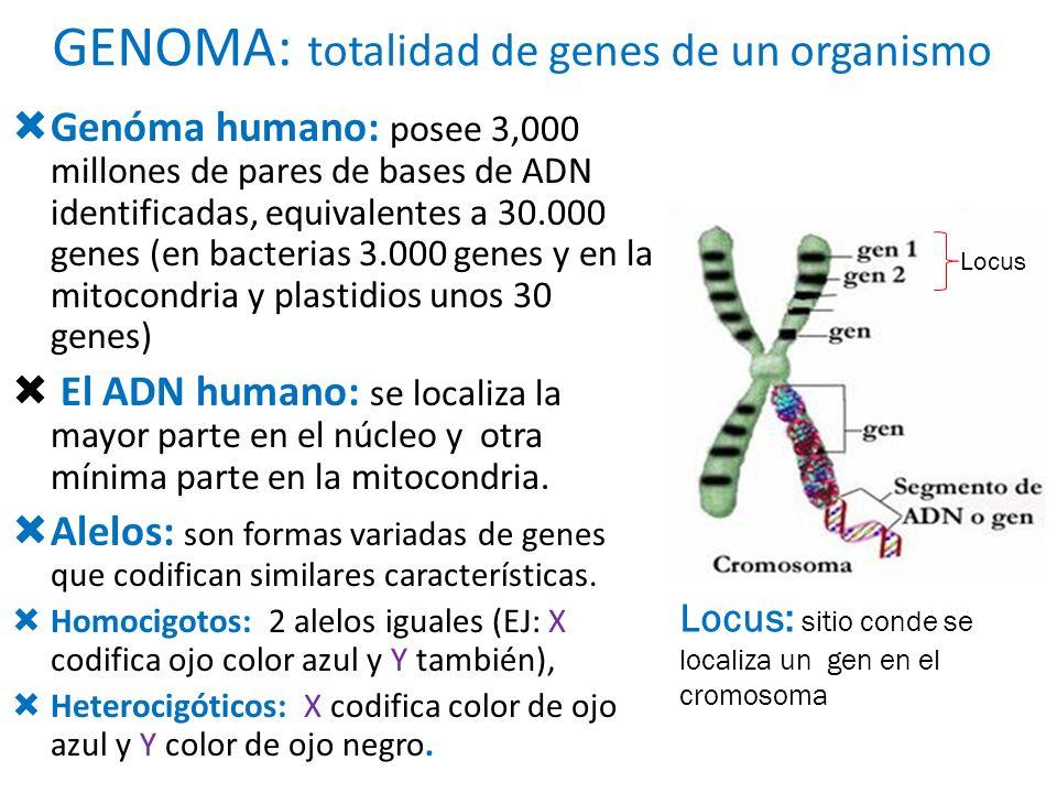 GENOMA: totalidad de genes de un organismo Genóma humano: posee 3,000 millones de pares de bases de ADN identificadas, equivalentes a 30.000 genes (en