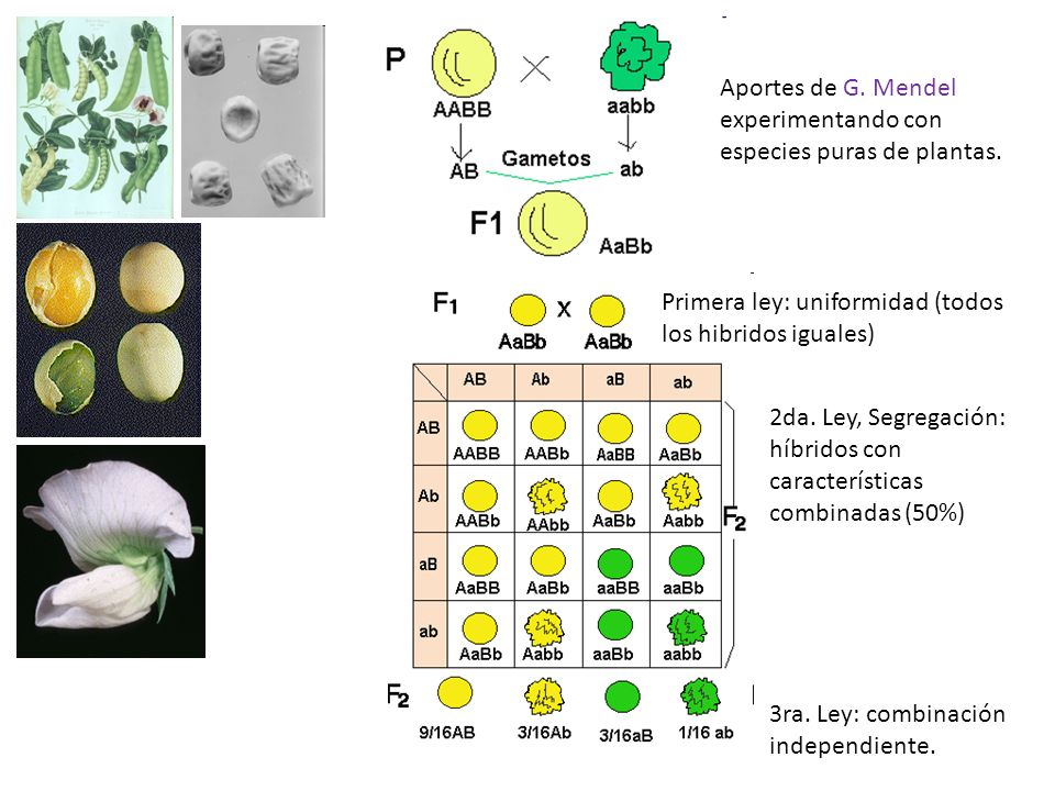 Anomalias estructurales, ocurren en la síntesis de ADN Inserción Se pueden obsevar una gran variedad de mutaciones, que dan como consecuencia alteraciones fenotípicas y genotípicas.