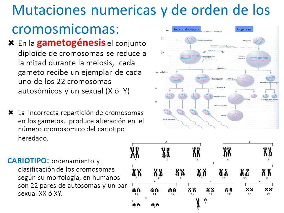 Mutaciones numericas y de orden de los cromosmicomas: En la gametogénesis el conjunto diploide de cromosomas se reduce a la mitad durante la meiosis,
