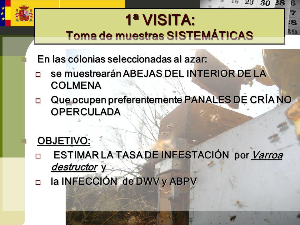 1ª VISITA: Toma de muestras SISTEMÁTICAS En las colonias seleccionadas al azar: En las colonias seleccionadas al azar: se muestrearán ABEJAS DEL INTER