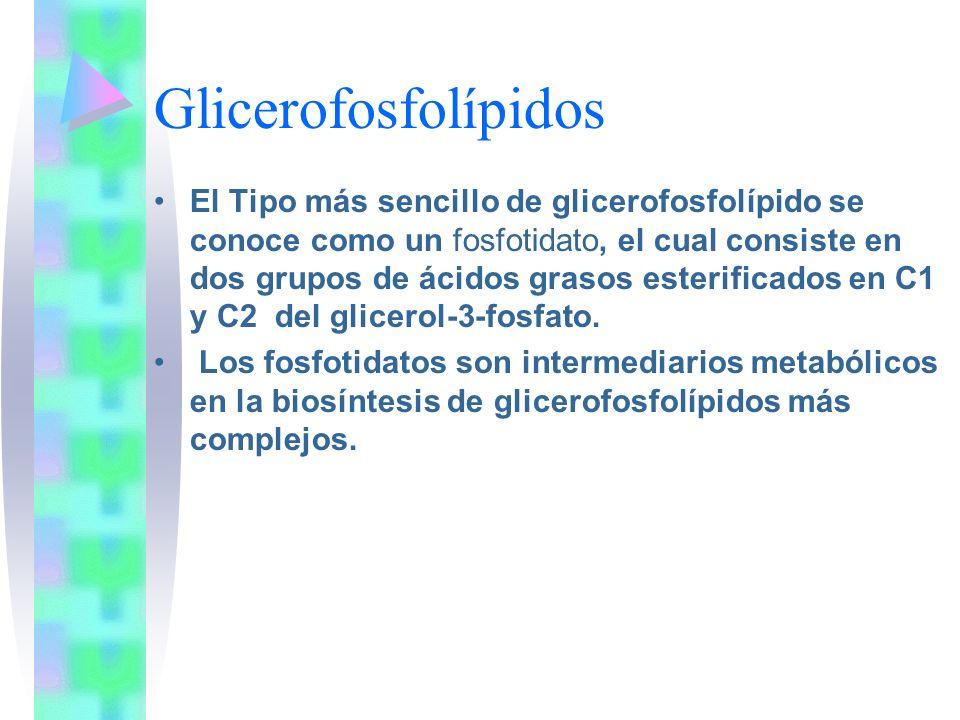 Glicerofosfolípidos El Tipo más sencillo de glicerofosfolípido se conoce como un fosfotidato, el cual consiste en dos grupos de ácidos grasos esterifi
