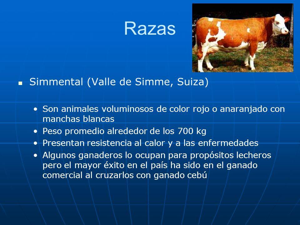 Razas Simmental (Valle de Simme, Suiza) Son animales voluminosos de color rojo o anaranjado con manchas blancas Peso promedio alrededor de los 700 kg