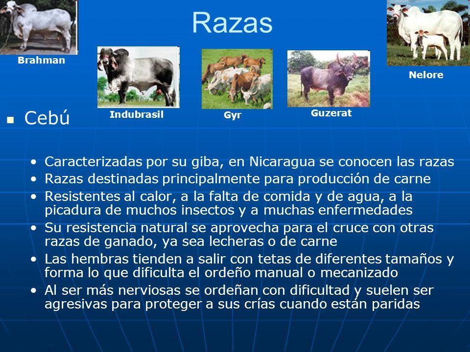 Razas Cebú Caracterizadas por su giba, en Nicaragua se conocen las razas Razas destinadas principalmente para producción de carne Resistentes al calor
