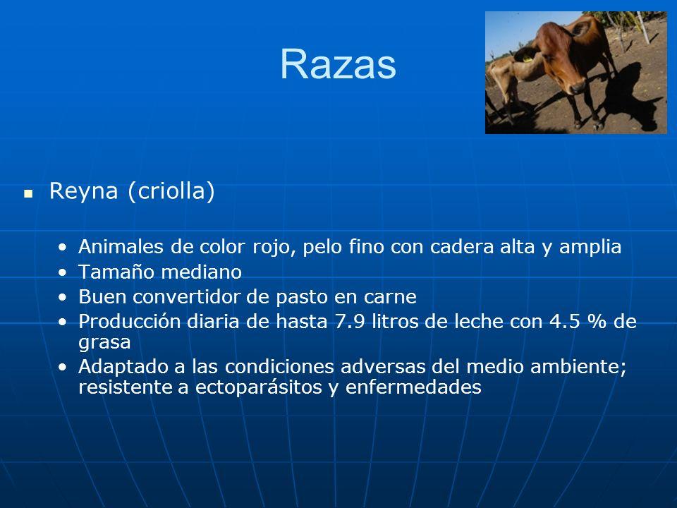 Razas Reyna (criolla) Animales de color rojo, pelo fino con cadera alta y amplia Tamaño mediano Buen convertidor de pasto en carne Producción diaria d