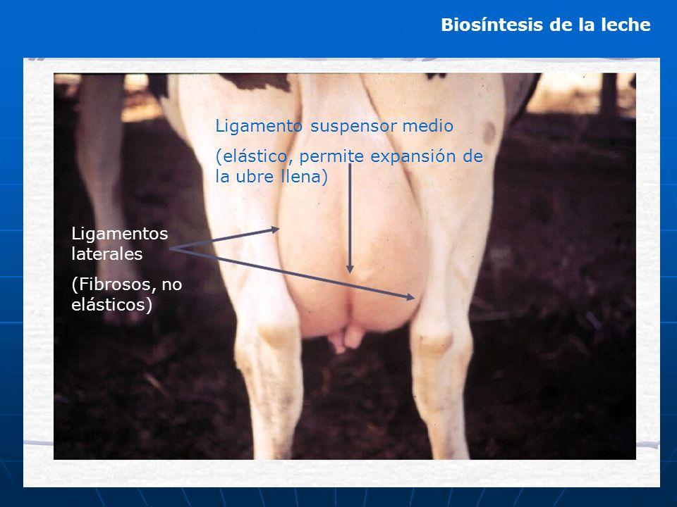 Ligamento suspensor medio (elástico, permite expansión de la ubre llena) Ligamentos laterales (Fibrosos, no elásticos)