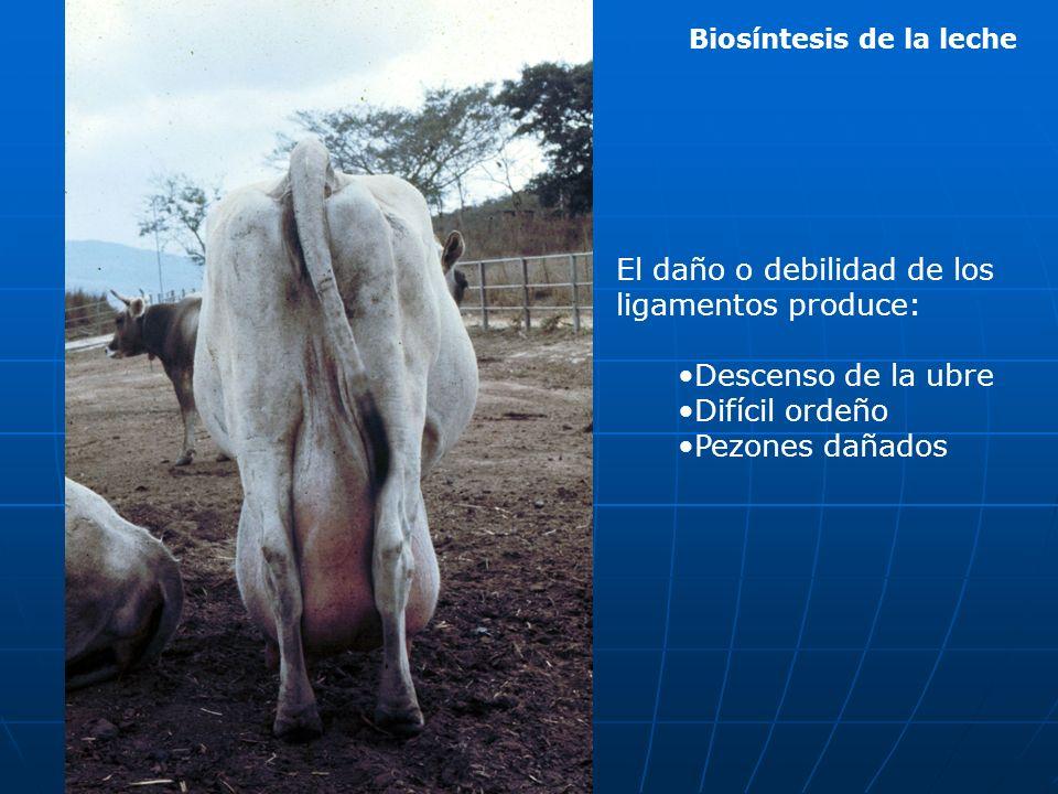 Biosíntesis de la leche El daño o debilidad de los ligamentos produce: Descenso de la ubre Difícil ordeño Pezones dañados