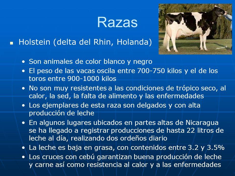 Razas Holstein (delta del Rhin, Holanda) Son animales de color blanco y negro El peso de las vacas oscila entre 700-750 kilos y el de los toros entre 900-1000 kilos No son muy resistentes a las condiciones de trópico seco, al calor, la sed, la falta de alimento y las enfermedades Los ejemplares de esta raza son delgados y con alta producción de leche En algunos lugares ubicados en partes altas de Nicaragua se ha llegado a registrar producciones de hasta 22 litros de leche al día, realizando dos ordeños diario La leche es baja en grasa, con contenidos entre 3.2 y 3.5% Los cruces con cebú garantizan buena producción de leche y carne así como resistencia al calor y a las enfermedades