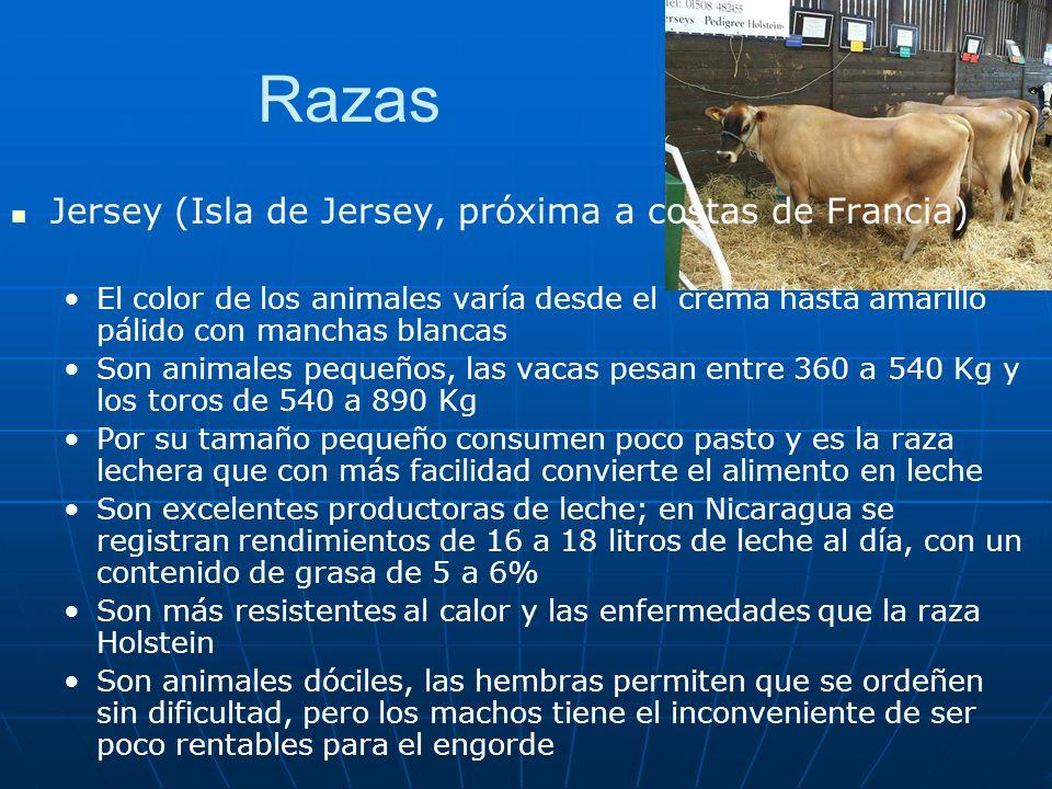 Razas Jersey (Isla de Jersey, próxima a costas de Francia) El color de los animales varía desde el crema hasta amarillo pálido con manchas blancas Son animales pequeños, las vacas pesan entre 360 a 540 Kg y los toros de 540 a 890 Kg Por su tamaño pequeño consumen poco pasto y es la raza lechera que con más facilidad convierte el alimento en leche Son excelentes productoras de leche; en Nicaragua se registran rendimientos de 16 a 18 litros de leche al día, con un contenido de grasa de 5 a 6% Son más resistentes al calor y las enfermedades que la raza Holstein Son animales dóciles, las hembras permiten que se ordeñen sin dificultad, pero los machos tiene el inconveniente de ser poco rentables para el engorde
