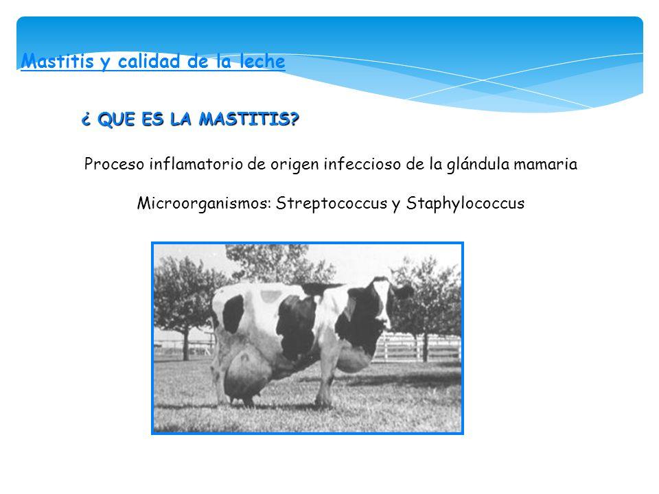 Mastitis y calidad de la leche ¿ QUE ES LA MASTITIS? Proceso inflamatorio de origen infeccioso de la glándula mamaria Microorganismos: Streptococcus y