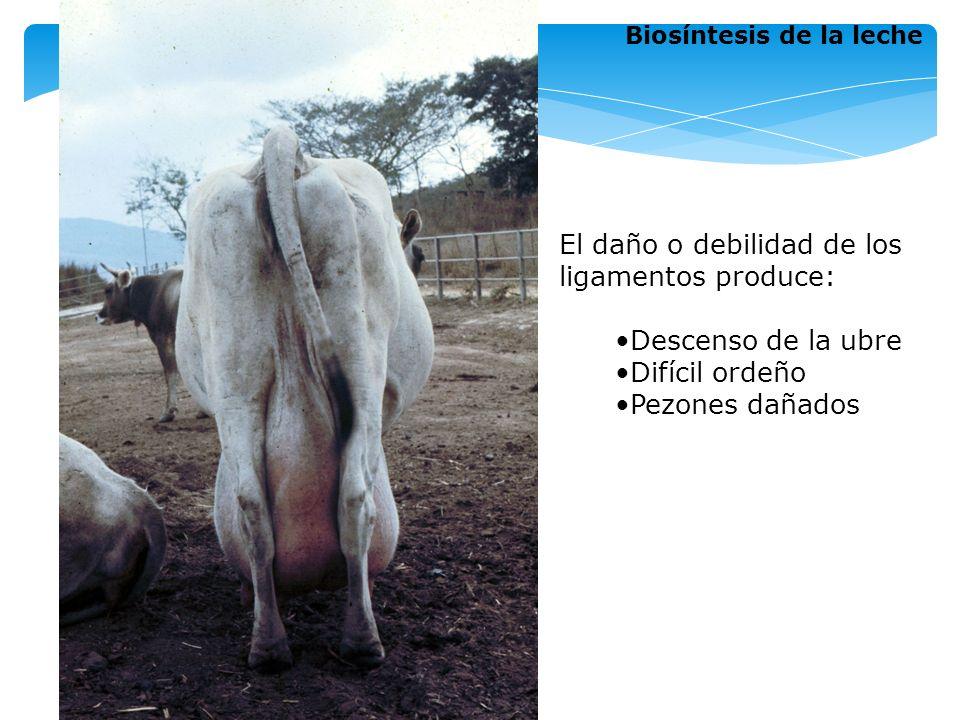 Ubre Constituida por cuatro glándulas mamarias o cuartos Peso entre 11 –27 kg., sin leche Cuarto Unidad funcional en sí misma Opera independientemente Drena la leche por medio de su propio canal Cuartos posteriores ligeramente más desarrollados producen más leche (60%) Biosíntesis de la leche 1 3 2 Cuartos posteriores 4