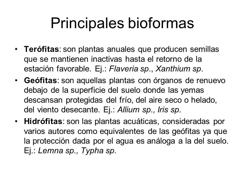 Principales bioformas Terófitas: son plantas anuales que producen semillas que se mantienen inactivas hasta el retorno de la estación favorable. Ej.: