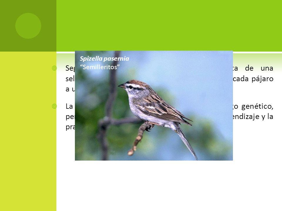 Según Lack (1933) esta distribución resulta de una selección de hábitat especifico que restringe a cada pájaro a una zona menor de la que podría ocupa