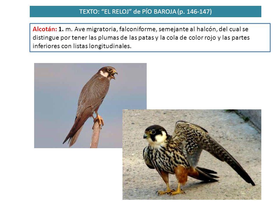 TEXTO: EL RELOJ de PÍO BAROJA (p. 146-147) Alcotán: 1. m. Ave migratoria, falconiforme, semejante al halcón, del cual se distingue por tener las pluma