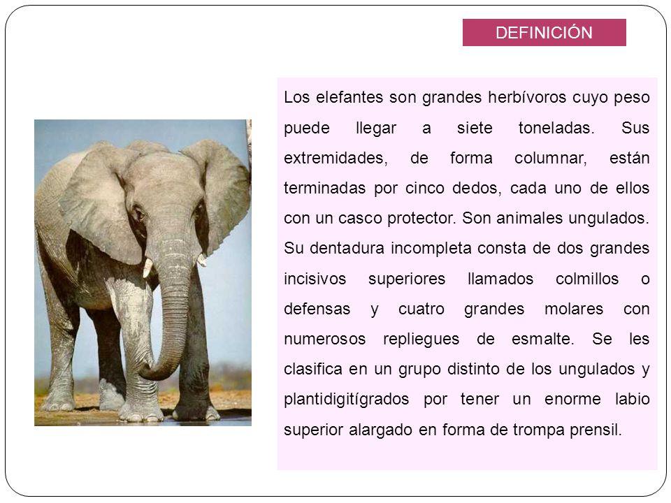 Los elefantes son grandes herbívoros cuyo peso puede llegar a siete toneladas. Sus extremidades, de forma columnar, están terminadas por cinco dedos,