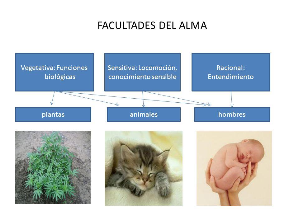 FACULTADES DEL ALMA Vegetativa: Funciones biológicas Sensitiva: Locomoción, conocimiento sensible Racional: Entendimiento plantasanimaleshombres