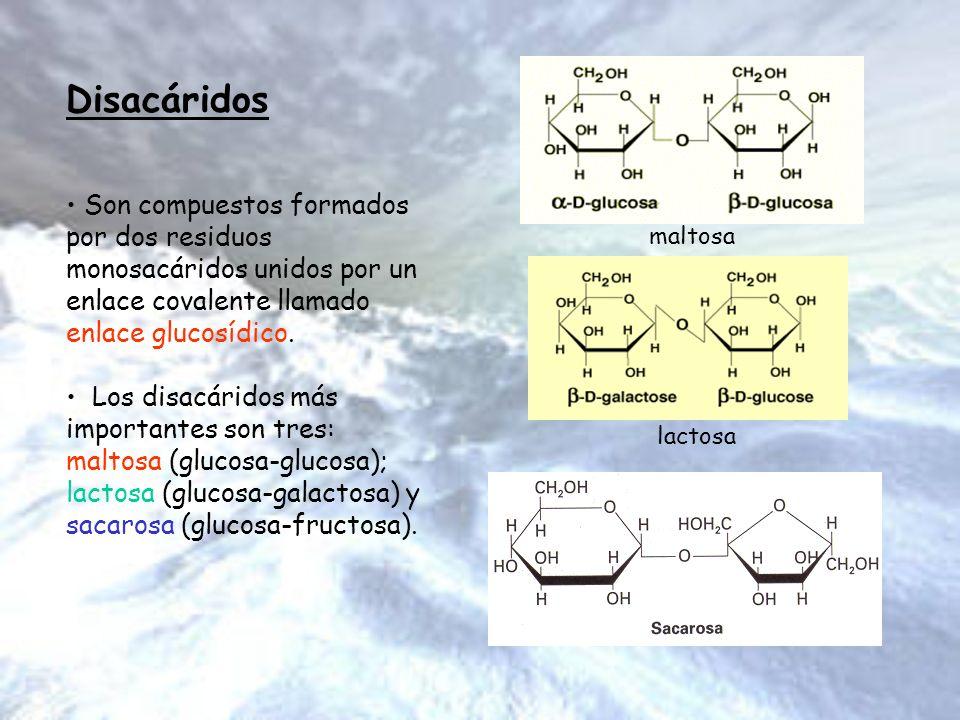 Disacáridos Son compuestos formados por dos residuos monosacáridos unidos por un enlace covalente llamado enlace glucosídico. Los disacáridos más impo