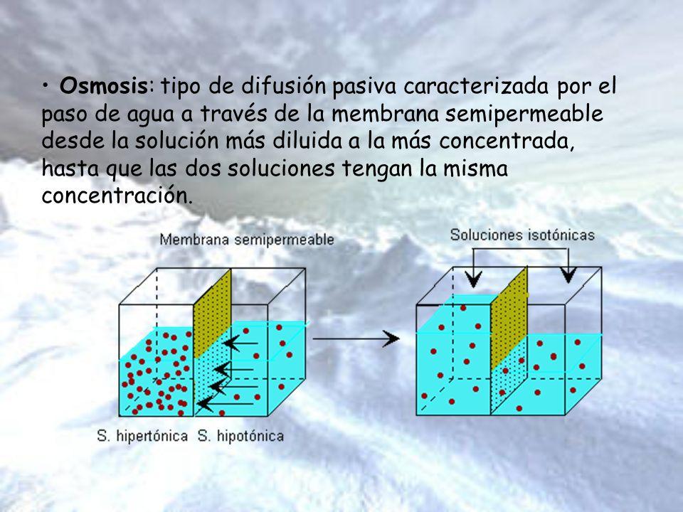 Osmosis: tipo de difusión pasiva caracterizada por el paso de agua a través de la membrana semipermeable desde la solución más diluida a la más concen