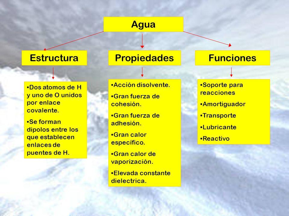 Agua EstructuraPropiedadesFunciones Dos atomos de H y uno de O unidos por enlace covalente. Se forman dipolos entre los que establecen enlaces de puen