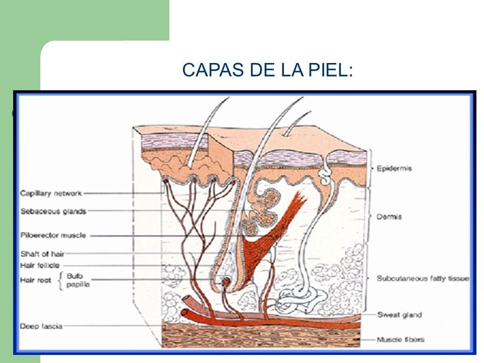 Funciones de la Piel Barrera contra las infecciones Protección de agentes dañinos Aislante de las estructuras subyacentes Regula la temperatura del cuerpo Es el órgano más grande del cuerpo