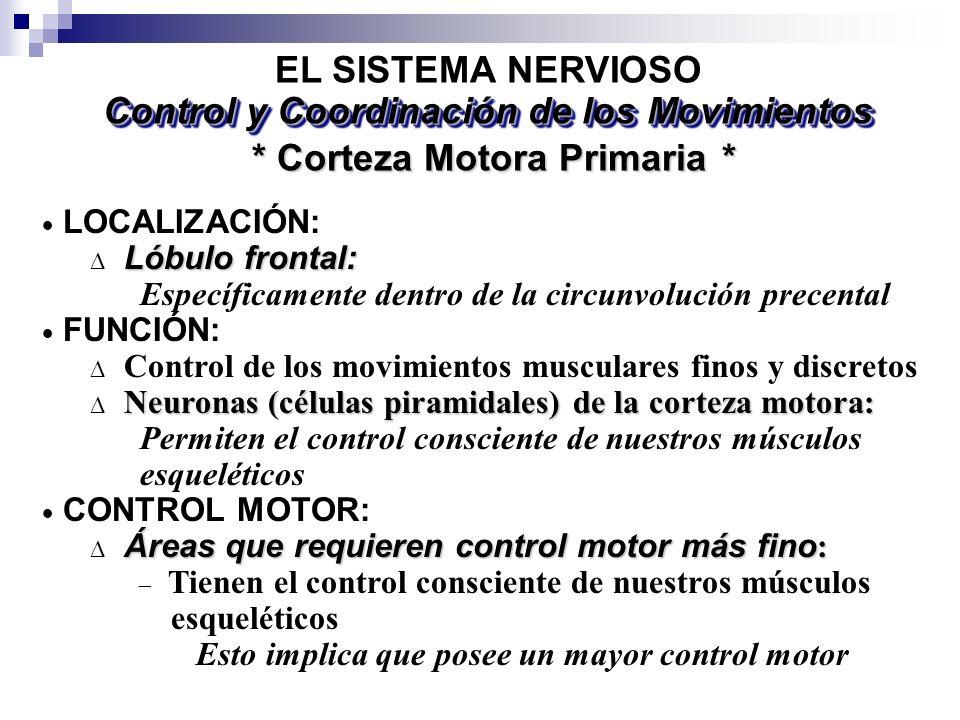 * Corteza Motora Primaria * EL SISTEMA NERVIOSO LOCALIZACIÓN: Lóbulo frontal: Específicamente dentro de la circunvolución precental FUNCIÓN: Control d