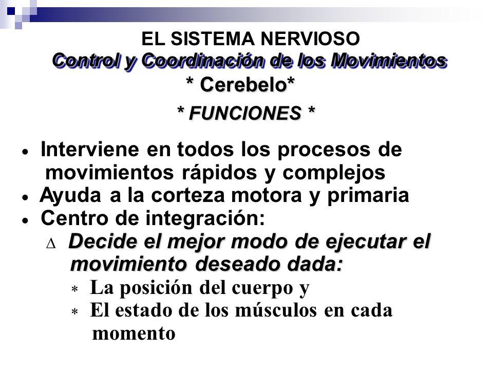 Interviene en todos los procesos de movimientos rápidos y complejos Ayuda a la corteza motora y primaria Centro de integración: Decide el mejor modo d