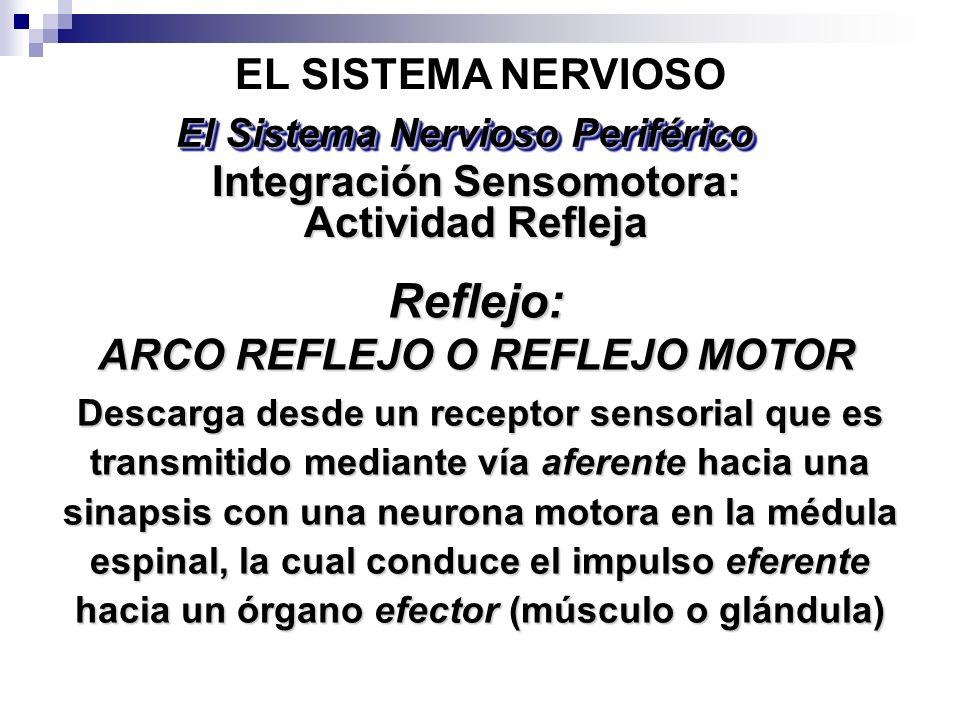 Descarga desde un receptor sensorial que es transmitido mediante vía aferente hacia una sinapsis con una neurona motora en la médula espinal, la cual
