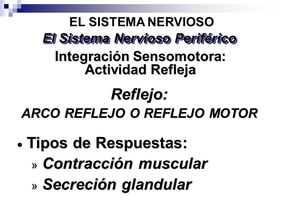 Reflejo: ARCO REFLEJO O REFLEJO MOTOR EL SISTEMA NERVIOSO Integración Sensomotora: Actividad Refleja El Sistema Nervioso Periférico Tipos de Respuesta