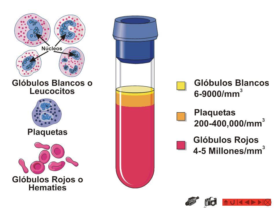 Concepto HEMORRAGIAS: Hemorragia o Sangrado Fuga o salida de sangre de los vasos sanguíneos y del corazón.