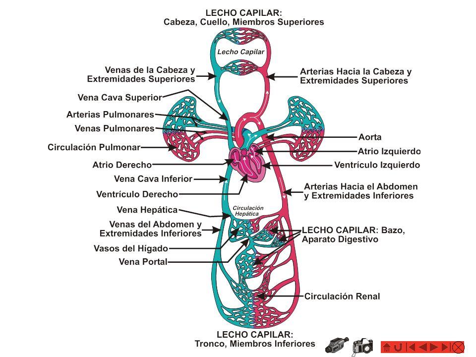 Los Vasos Sanguíneos: ARTERIAS EL SISTEMA CARDIOVASCULAR: Anatomía y Fisiología Las Arterias: Vasos elásticos que salen del corazón y llevan sangre oxigenada y nutrientes a los tejidos del cuerpo.