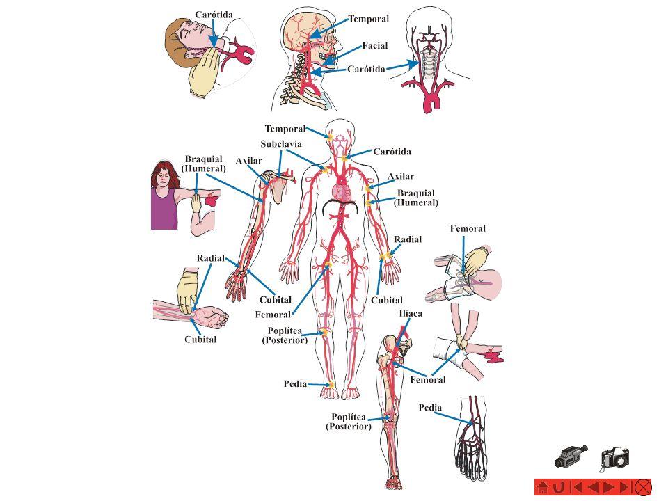 HEMORRAGIAS: HEMORRAGIAS: Control del Sangrado Trataminto Agudo para Hemorragias Externas Puntos de Presión en el Cuerpo: Braquial/Humeral