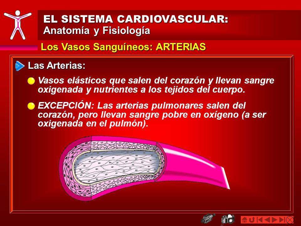 Los Vasos Sanguíneos: ARTERIAS EL SISTEMA CARDIOVASCULAR: Anatomía y Fisiología Las Arterias: Vasos elásticos que salen del corazón y llevan sangre ox