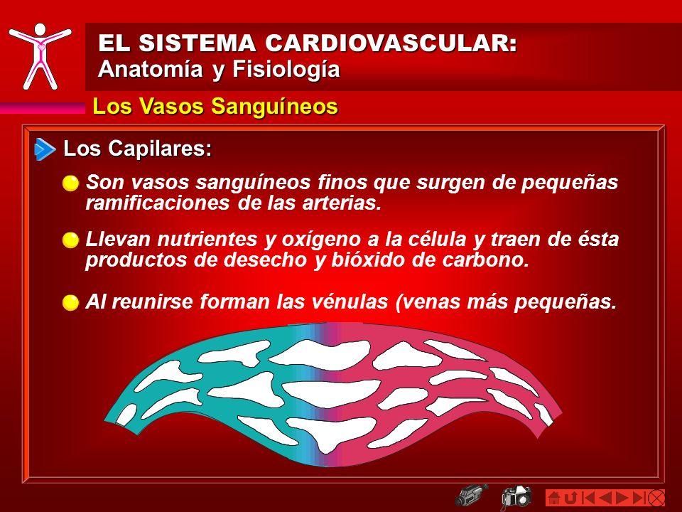 Los Vasos Sanguíneos EL SISTEMA CARDIOVASCULAR: Anatomía y Fisiología Los Capilares: Son vasos sanguíneos finos que surgen de pequeñas ramificaciones