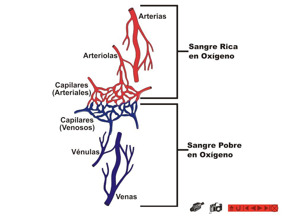 Concepto EL SISTEMA CARDIOVASCULAR: La Sangre El líquido que circula a través del corazón, arterias, venas y capilares, transportando nutrientes, hormonas, calor y oxígeno hacia los tejidos corporales y alejando las materias de desecho y bióxido de carbono (producto del metabolismo celular) hacia órganos que eliminan dichas escorias (hígado, riñones, pulmones y otros)