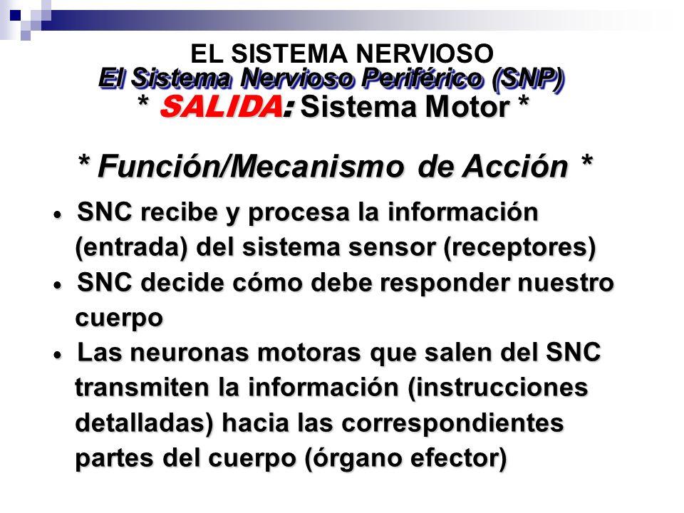 EL SISTEMA NERVIOSO * SALIDA: Sistema Motor * El Sistema Nervioso Periférico (SNP) SNC recibe y procesa la información SNC recibe y procesa la información (entrada) del sistema sensor (receptores) (entrada) del sistema sensor (receptores) SNC decide cómo debe responder nuestro SNC decide cómo debe responder nuestro cuerpo cuerpo Las neuronas motoras que salen del SNC Las neuronas motoras que salen del SNC transmiten la información (instrucciones transmiten la información (instrucciones detalladas) hacia las correspondientes detalladas) hacia las correspondientes partes del cuerpo (órgano efector) partes del cuerpo (órgano efector) * Función/Mecanismo de Acción *