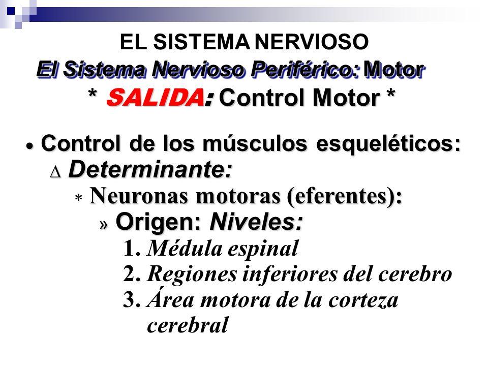 EL SISTEMA NERVIOSO * SALIDA: Control Motor * El Sistema Nervioso Periférico: Motor Control de los músculos esqueléticos: Control de los músculos esqueléticos: Determinante: Determinante: Neuronas motoras (eferentes): » Origen: Niveles: 1.